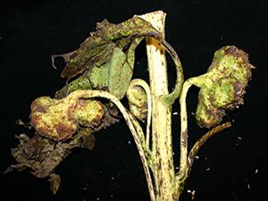 Симптомы альтернариоза подсолнечника