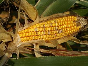 Симптомы фузариоза кукурузы