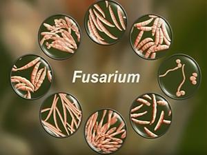 Грибы рода Fusarium