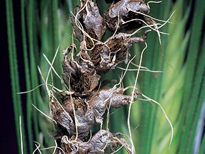 Пшеница, зараженная грибами Ustilago tritici
