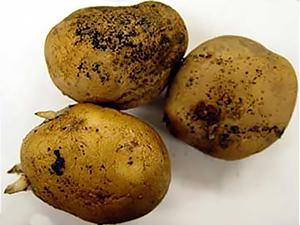 Клубни картофеля, зараженные ризоктониозом