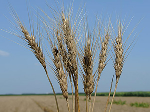 Пшеница, зараженная спорыньей